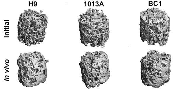 3D-модели искусственно созданных косточек, полученные методом компьютерной томографии.