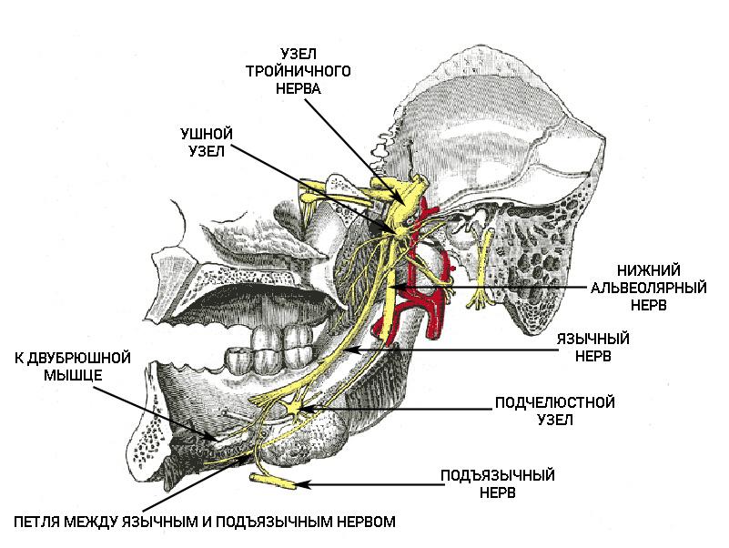 Ход язычного и нижнеальвеолярного нерва